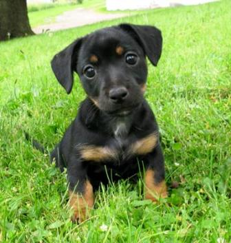 black tan jack russell puppy