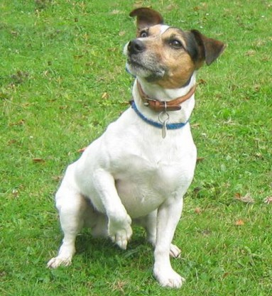 camden jack russell photo