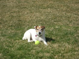 jack russell terrier daisy
