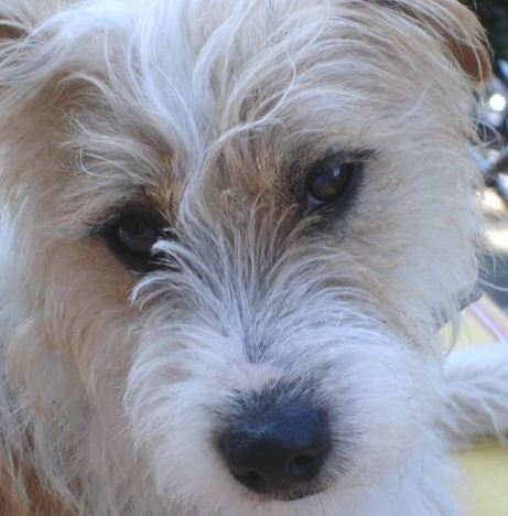parson russell terrier a vendre