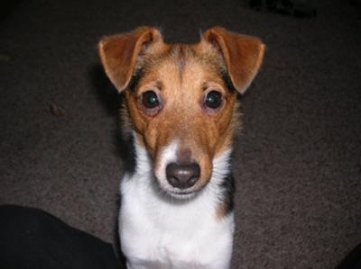 jack russell terrier scooter
