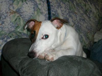 jack russell terrier rocky