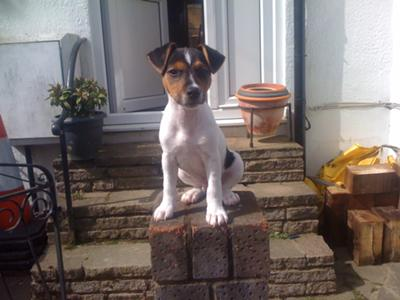 jack russell terrier photo scruffy
