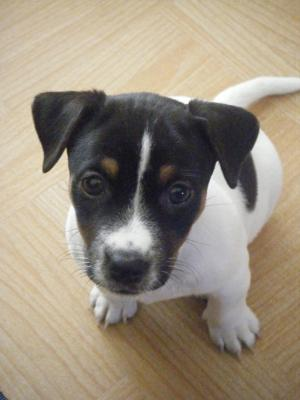 jack russell terrier lucy