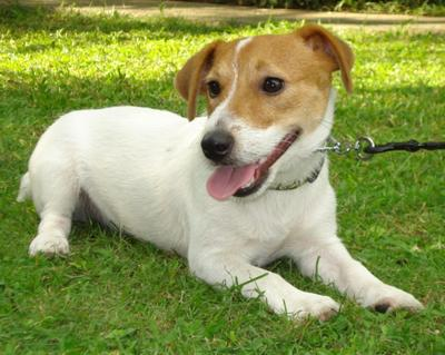 jack russell terrier picture