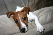 trouble jack russell