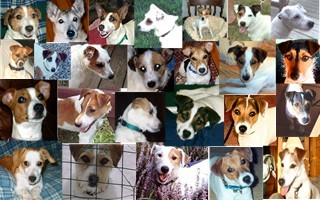 virginia jack russell rescue