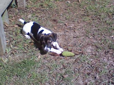 bobo jack russell pic