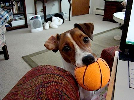 jack russell terrier photos bridget