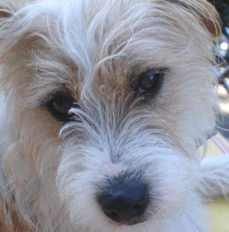 eddie jack russell terrier pic