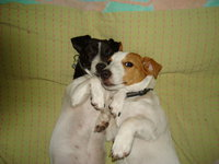 jack russell dogs