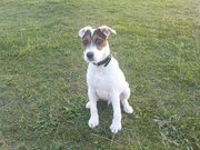 jack russell picture