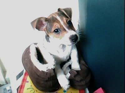 jack russell terrier bugsy