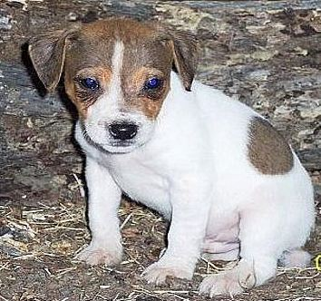 jack russell dog pic
