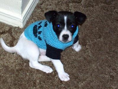 jack russell terrier meekah