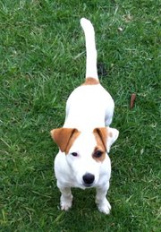 sampson jack russell