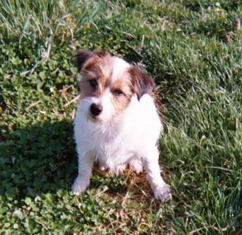 jack russell terrier skippy