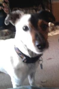 spike_jack_russell