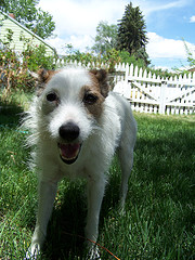 fact about jack russell terrier