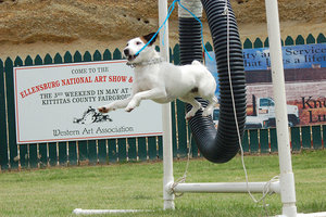 training jack russell terriers