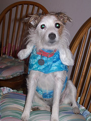 jack russell terrier breeding