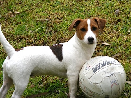 Jack Russell Terrier Jatz