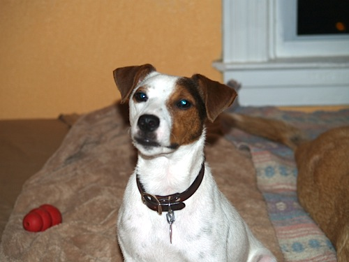 Jack Russell Terrier Mr. Leo