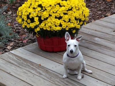 Jack russell Terrier Angel