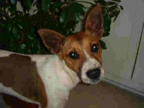 jack russell pic