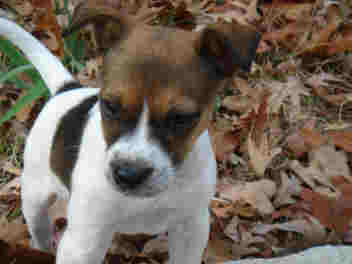 jack russell terrier pictures