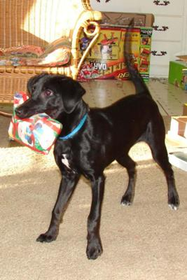 Black Lab Mix Jack Russell Terrier