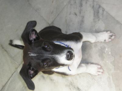 Jack Russell Terrier Puppy Blacky