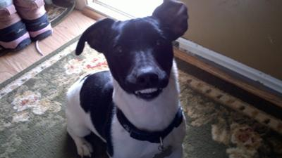 Buster the Jack Russell Terrier