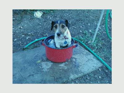 BUZZ CHILLING jack Russell Terrier
