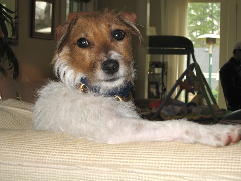 Jack Russell Terrier Carly