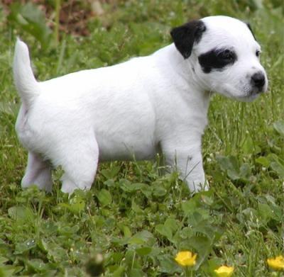 Castle Pines Jack Russell Terriers