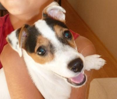 Jack Russell Terrier of the Month (Sept 2011) Coco