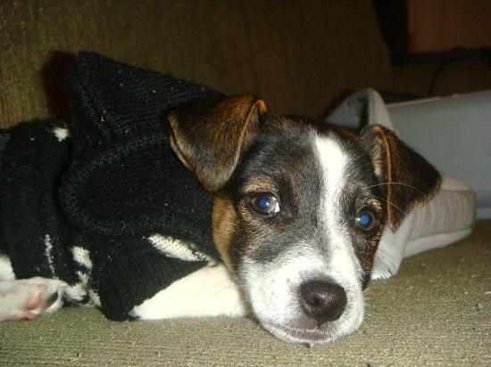 Jack Russell Terrier DJ