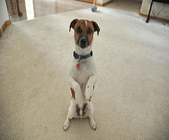 characteristics of jack russell terriers