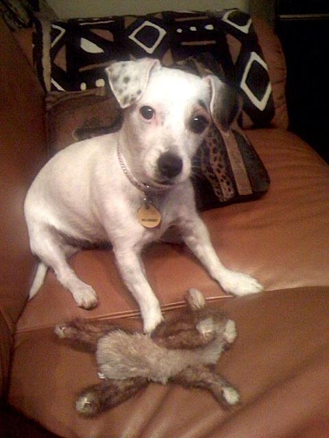 Jack Russell Terrier Dutchess
