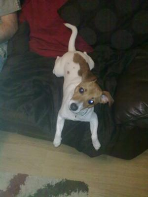 Evie is a Jack Russell that is Funny and Loving