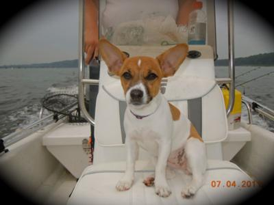 Sailor Zoe Jack Russell Terrier Picture