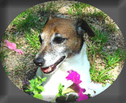 facts about jack russell terrier