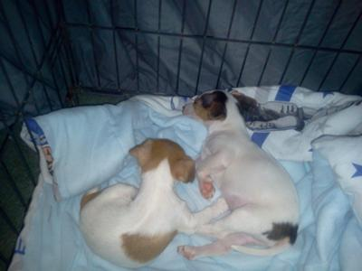 A Cute Pair of Jack Russells