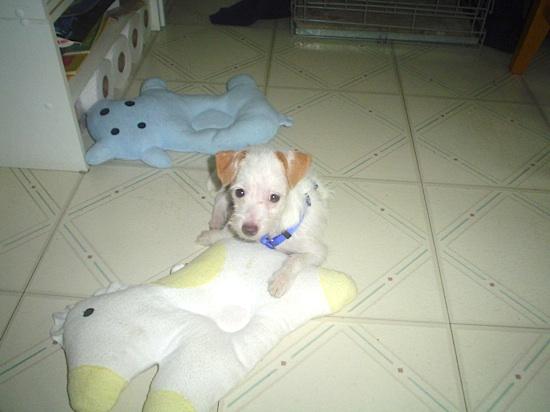 Jack Russell Terrier Freddie