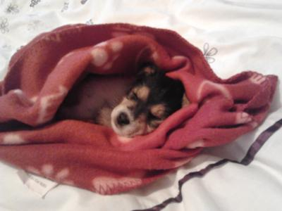 7 Week Old Jack Russell Puppy Named Maisy