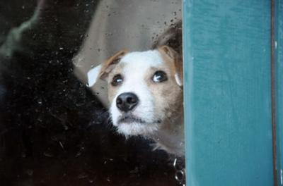 Charlie the Jack Russell