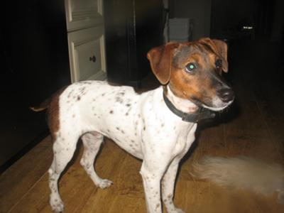 Jack Russell Terrier Mixed With Toy Manchester