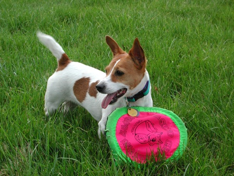 Jack Russell Terrier with Frisbee
