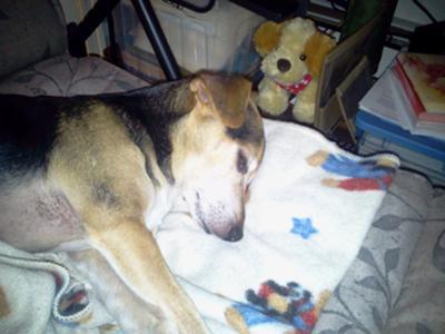 Sleepy Jack Russell/Chi